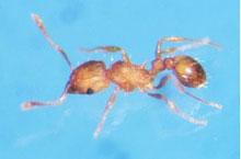 Danh mục loại côn trùng Kien lua nho 1