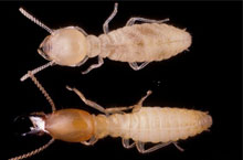 Danh mục loại côn trùng Moi formosa 1