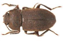 Danh mục loại côn trùng Mot khuan den