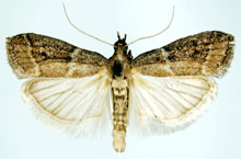 Danh mục loại côn trùng Ngai hai thuoc la