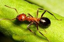 Danh mục loại côn trùng ki   n allegheny mound