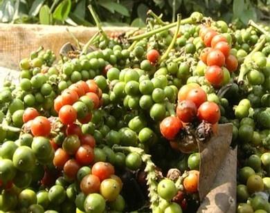 Ấn Độ vẫn chưa tìm được lời giải cho vấn đề hồ tiêu nhập khẩu trái phép từ Việt Nam 3040 hat tieu3 1469695275