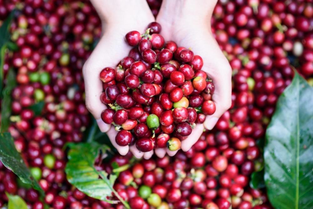 Giá cà phê tháng 11 tiếp tục chịu áp lực dư cung 3750 shutterstock 369731339 1440x961