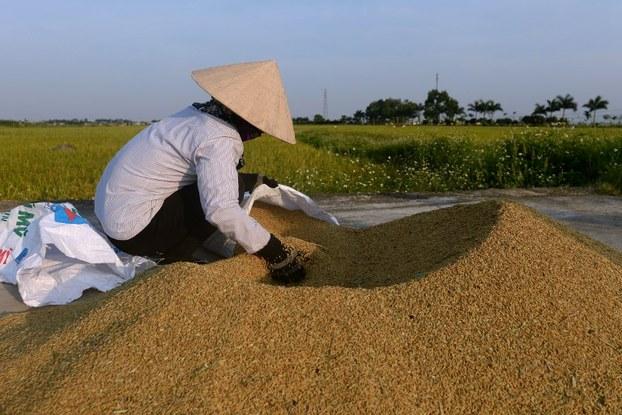 Giá gạo của Việt Nam giảm liên tục do Trung Quốc siết chặt quy định nhập khẩu gạo 41da82ec b33f 4f9b 8bb7 dcc0447d8811