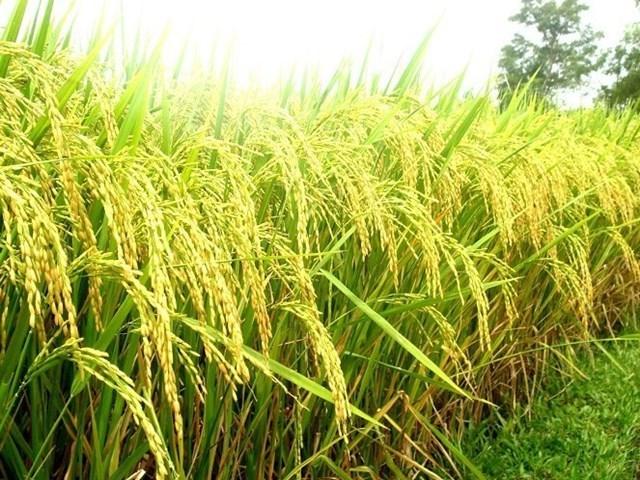Báo cáo thị trường gạo tháng 11: Giữ vững đà tăng paddy APIY