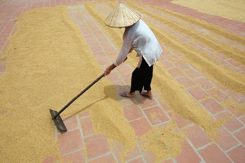 Giá gạo giảm tại các quốc gia xuất khẩu chính vì nhu cầu yếu, cung lớn 4820 download