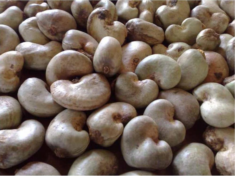 Vinacas: Không lo thiếu hụt điều thô cho chế biến 0652 Raw cashew nuts