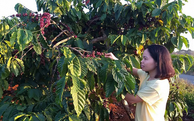 """Cà phê Việt dần """"thất sủng"""" trên đất Mỹ 000520181120164754 15537843295011462384591 crop 15537843445151713485272"""