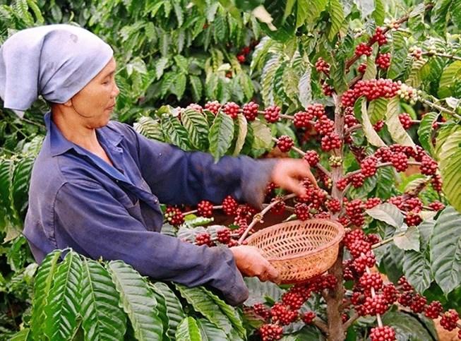 Người Thái nhập hơn 90% lượng cà phê từ Việt Nam hinh ca phe viet nam aian