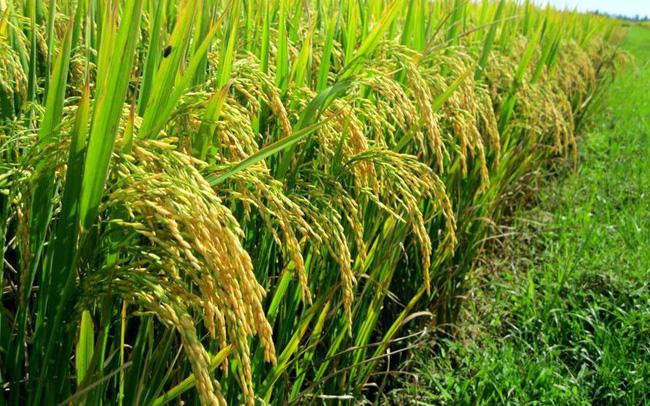 Khởi đầu năm, ngành nông nghiệp khó khăn cả về thị trường lẫn giá images1032855luabi 155201680580857954825 crop 155201681371914047551