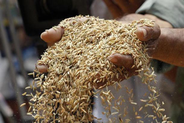 Nhu cầu gạo nội địa của Thái Lan khởi sắc vì lo ngại hạn hán rice l 15550119167101304318378