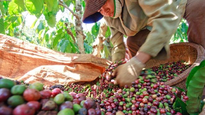 Xuất khẩu cà phê giảm so với cùng kỳ năm trước xuat khau ca phe