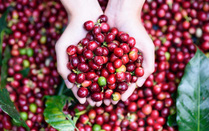 Xuất khẩu cà phê sang Ấn Độ 'sụt' gần một nửa, dự kiến tiếp tục giảm trong thời gian tới ca phe 15559225670061059570684 crop 1555922578942425246509