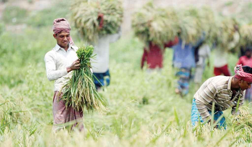 Ủy ban Thường vụ Quốc hội Bangladesh: Mua thêm lúa, ngừng nhập khẩu gạo web moulavibazar paddy field file photo mehedi hasan 1555343001202 15584001420351339062535