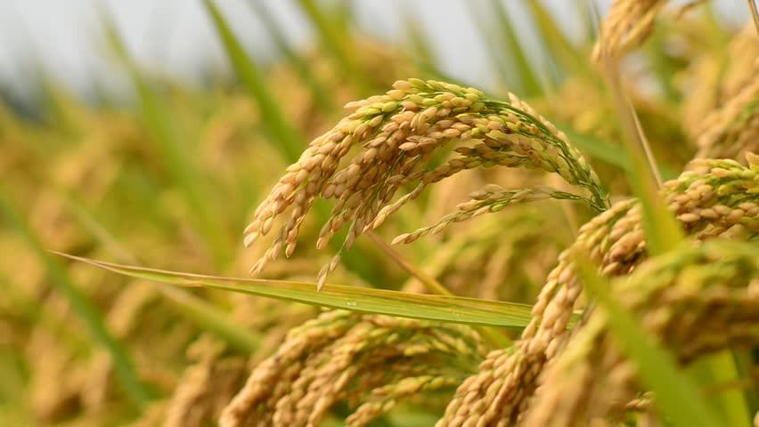 Bangladesh tăng gần hai lần thuế nhập khẩu gạo 1 1558691682850794171398
