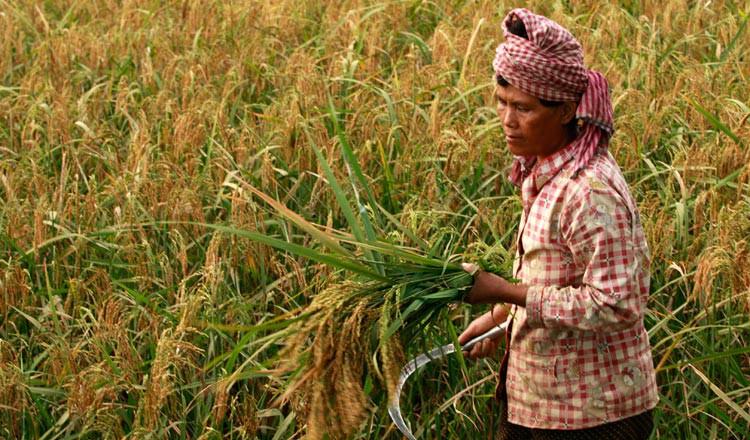 Tương lai rộng mở của gạo Japonica tại Cambodia farming in rice paddy chor s 15590587977061516676031