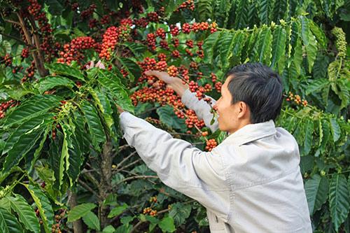 Đau cho cà phê Việt Nam: Sản lượng thứ 2, giá… đứng cuối Ca phe Viet van thua San luong top 2 gia top cuoi cafe 1 1563242892 width500height333