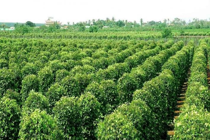 Mỹ là thị trường nhập khẩu hạt tiêu lớn nhất của Việt Nam my la thi truong nhap khau hat tieu viet nam nhieu nhat