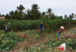 Giá sắn tươi lập kỷ lục, nông dân trồng sắn lợi nhuận cao t   i xu   ng 110x75