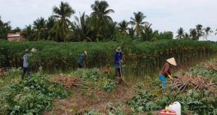 Giá sắn tươi lập kỷ lục, nông dân trồng sắn lợi nhuận cao t   i xu   ng 310x165