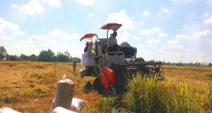 Vụ Đông Xuân 2020-2021 nông dân Miền Tây được mùa, trúng giá thu hoach lua 1 tyyw thumb 310x165