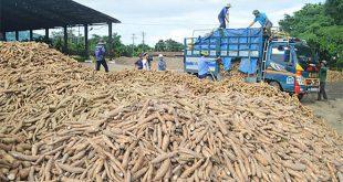 Trung Quốc tăng nhập khẩu sắn, các nhà máy chế biến đang thiếu nguyên liệu xuatkhausan nspu 310x165
