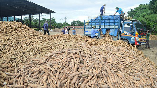 Trung Quốc tăng nhập khẩu sắn, các nhà máy chế biến đang thiếu nguyên liệu xuatkhausan nspu