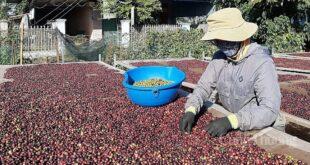 Xuất khẩu cà phê vào EU: Chú trọng khai thác thị trường ngách 3729 20 310x165