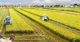 Philippines giảm thuế nhập khẩu gạo: Cơ hội cho gạo Việt gia tăng xuất khẩu KHCN1 310x165