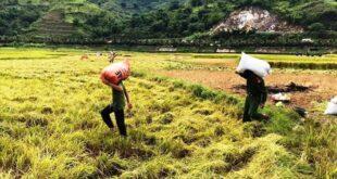 Xuất khẩu gạo Việt Nam đang gặp nhiều lợi thế, nhưng vẫn tiềm ẩn bất lợi Thu Hoach Xuat Khau  310x165