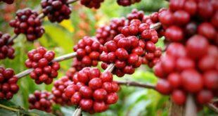 Xuất khẩu cà phê vào Bắc Âu: Chú trọng đặc biệt đến chất lượng sản phẩm 5834 332 310x165