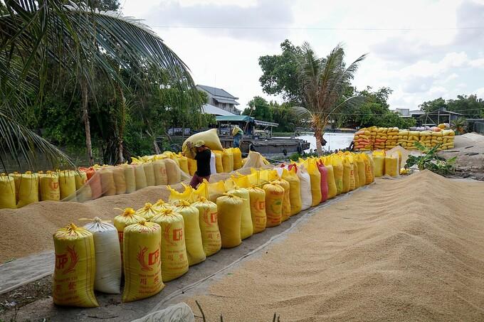 Giá gạo xuất khẩu giảm do cạnh tranh với Thái Lan, Ấn Độ gao 1627013588 7063 1627014597