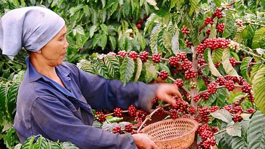Có nhiều lợi thế, nông sản Việt Nam vào Nga vẫn gặp khó 0746 ca phe viet