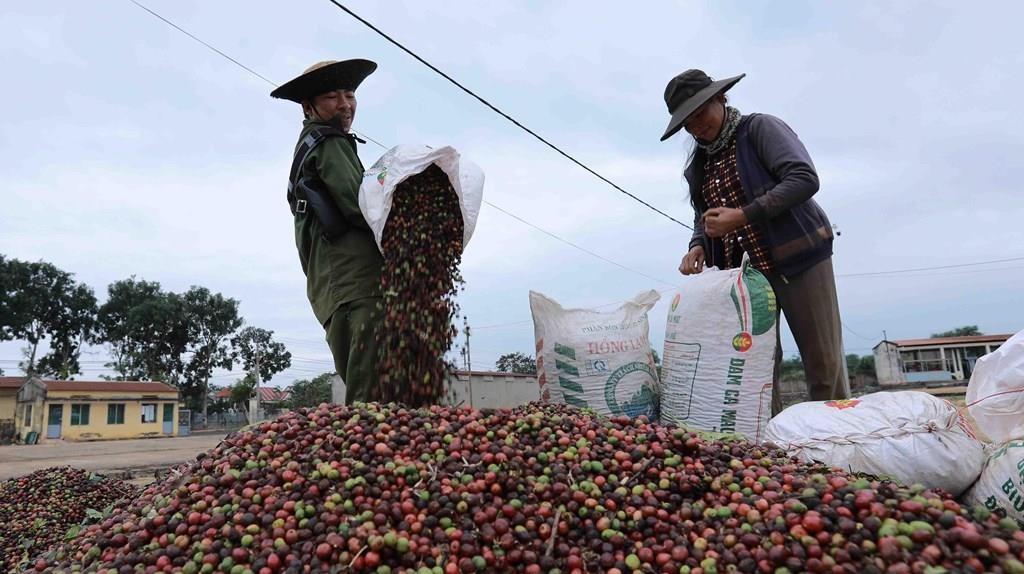 Điều gì khiến xuất khẩu cà phê sang thị trường Anh giảm đáng kể? 195208 dak lak chu dong tai co cau lai nganh hang ca phe de phat trien ben vung