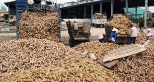 Xuất khẩu sắn sang Trung Quốc giảm vì cạnh tranh 4247 xuat khau san 1 310x165