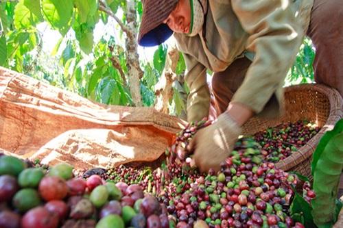 Xuất khẩu cà phê sang EU: Không nâng cao chất lượng sẽ hao hụt thị phần xk65773300