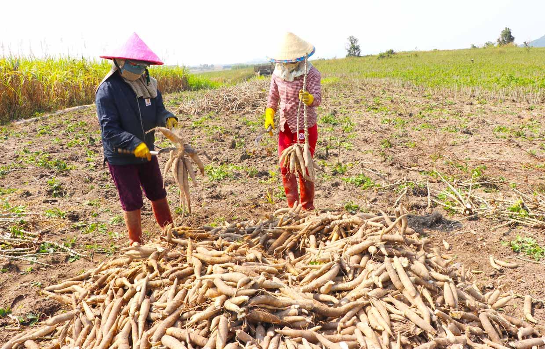 Trung Quốc mua 1,82 triệu tấn, giá một loại nông sản của Việt Nam tăng mạnh nhưng phải cạnh tranh với Thái Lan gia san 16327095220041634602300